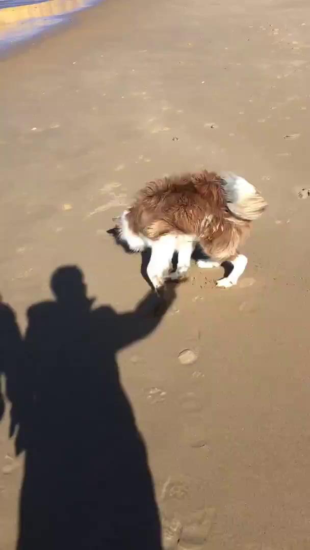 Border Collie Chases Shadow on Beach - 9GAG