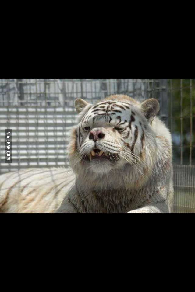 This Is A Tiger With Down Syndrome 9gag