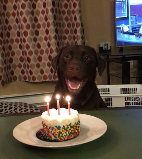 It's my labs 3rd birthday today! Best wishes and happiest birthdays to you doggo