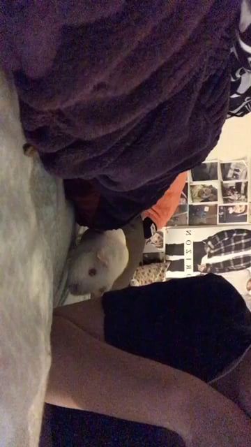 My albino guinea pig.