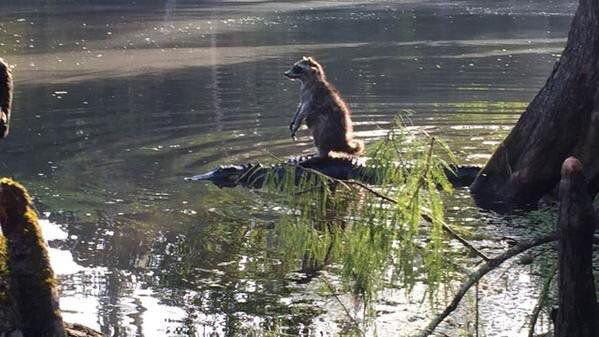 Someone in Florida snapped this awesome picture of a raccoon riding an alligator at the Ocala National Forest.