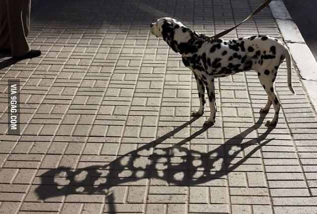 Dalmation in sunlight