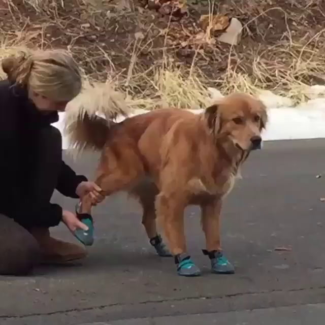 Doggo doesn't like his new shoes