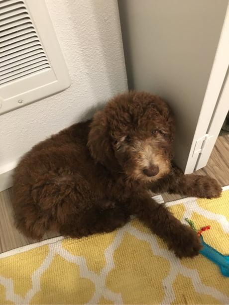 Got me a pupper - meet Theo