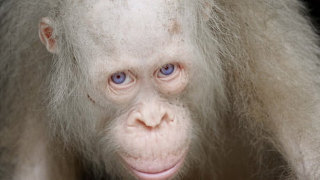 This one of a kind Albino orangutan in the world, gets private island for her own to protect her from poachers!